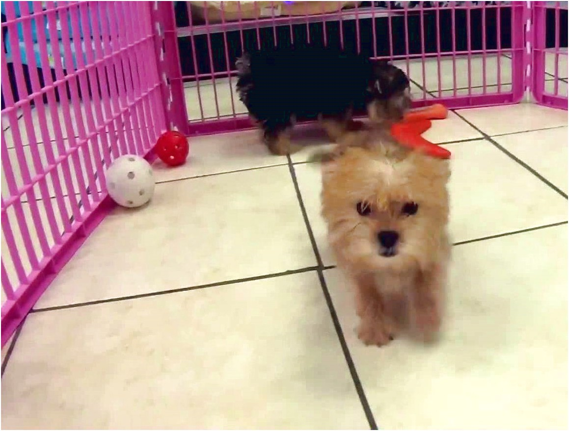 maltese yorkie puppies for sale in pa