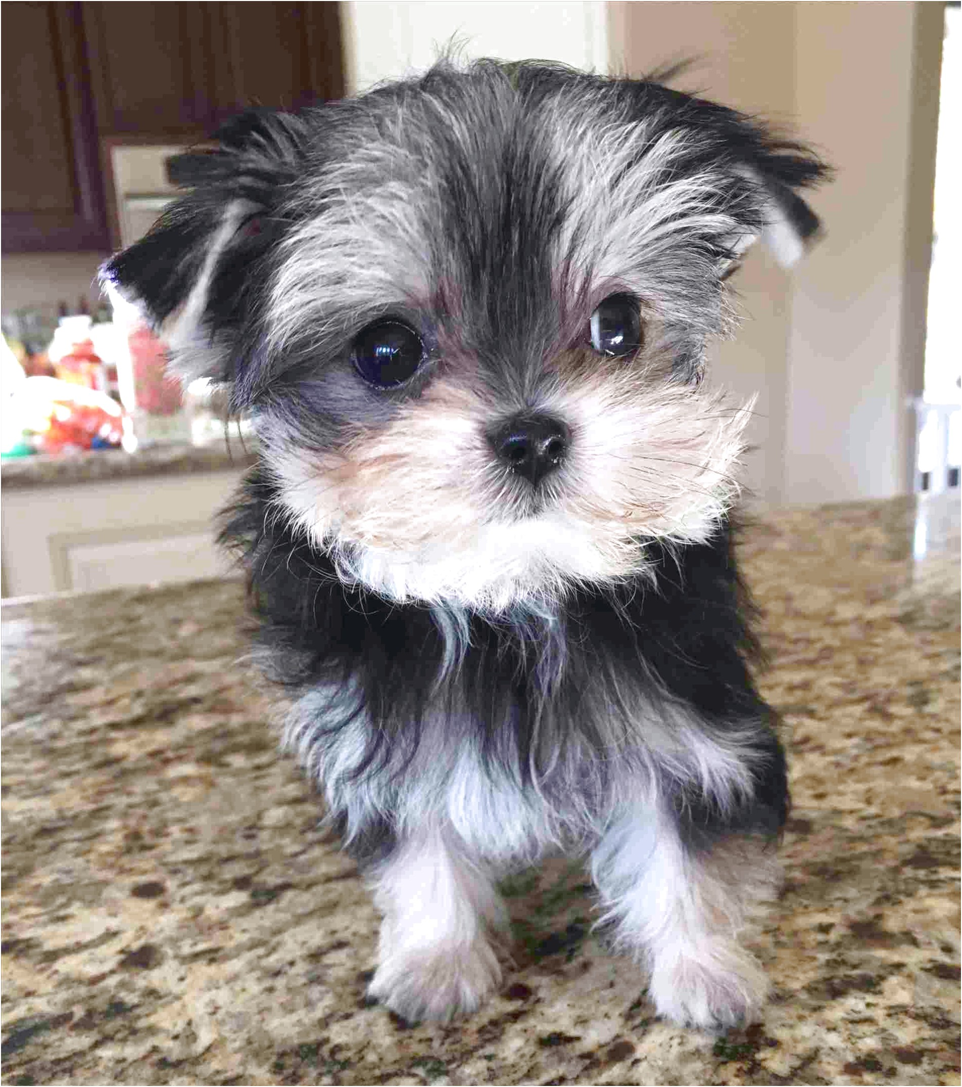 maltese yorkie puppy for sale