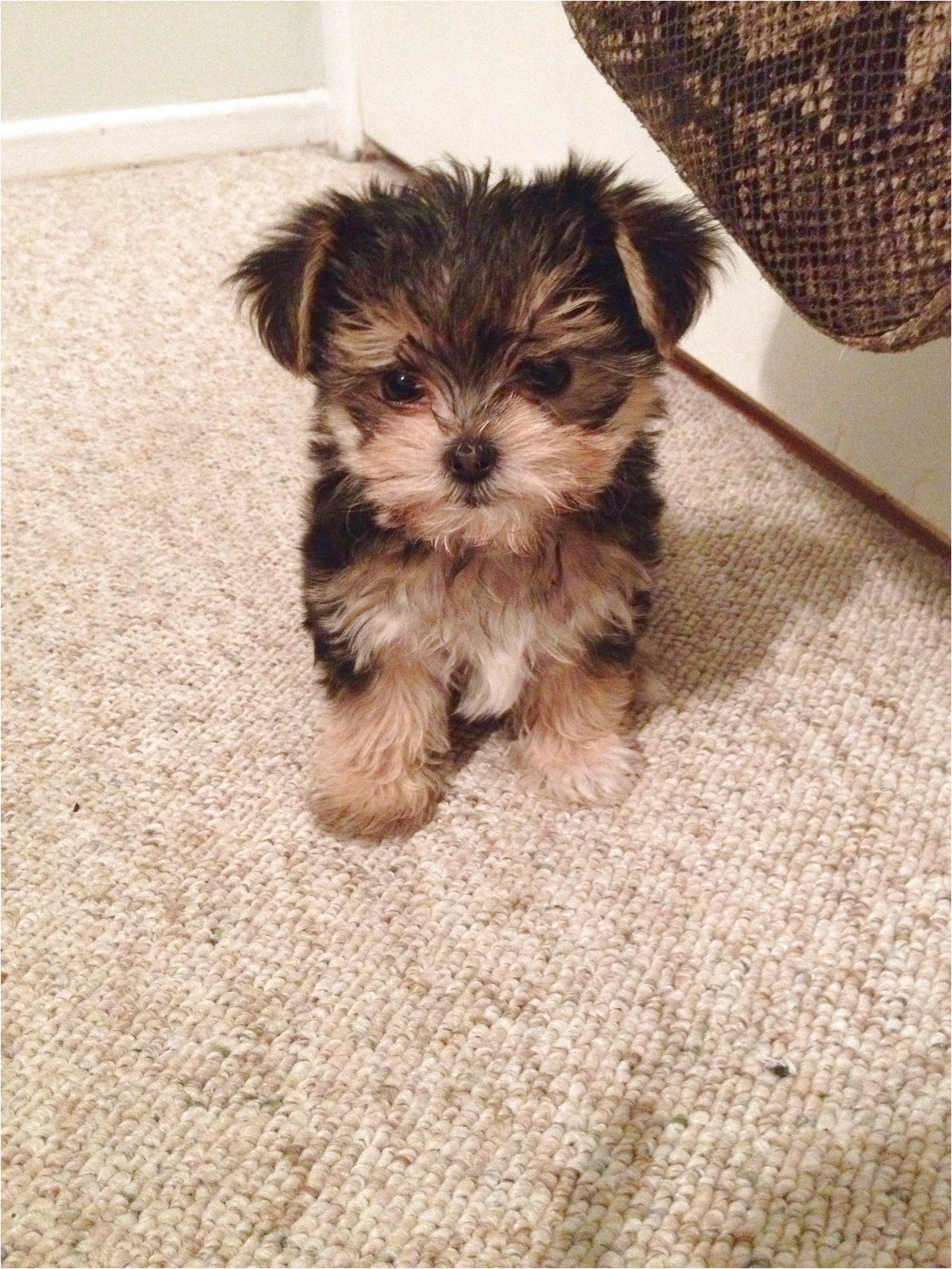 maltese yorkie pups for sale