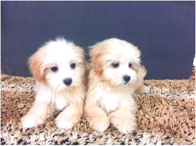 maltipoo puppies for sale near me