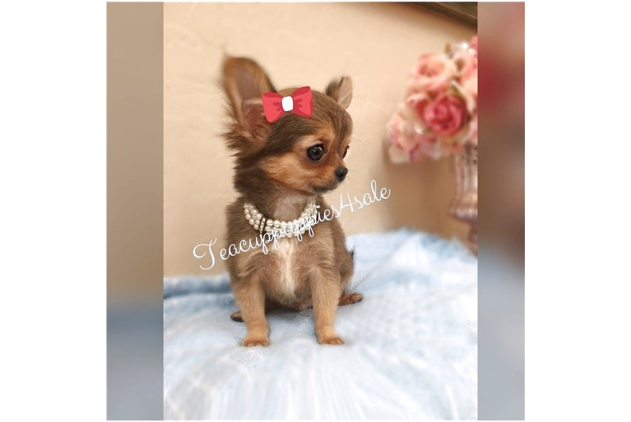 micro chihuahua puppies for sale near me