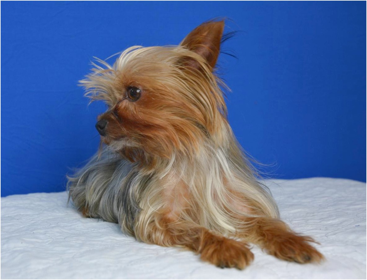 micro teacup yorkshire terrier for sale uk