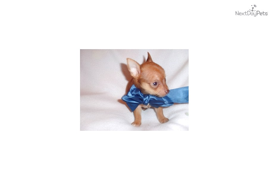 mini chihuahua puppies for sale near me