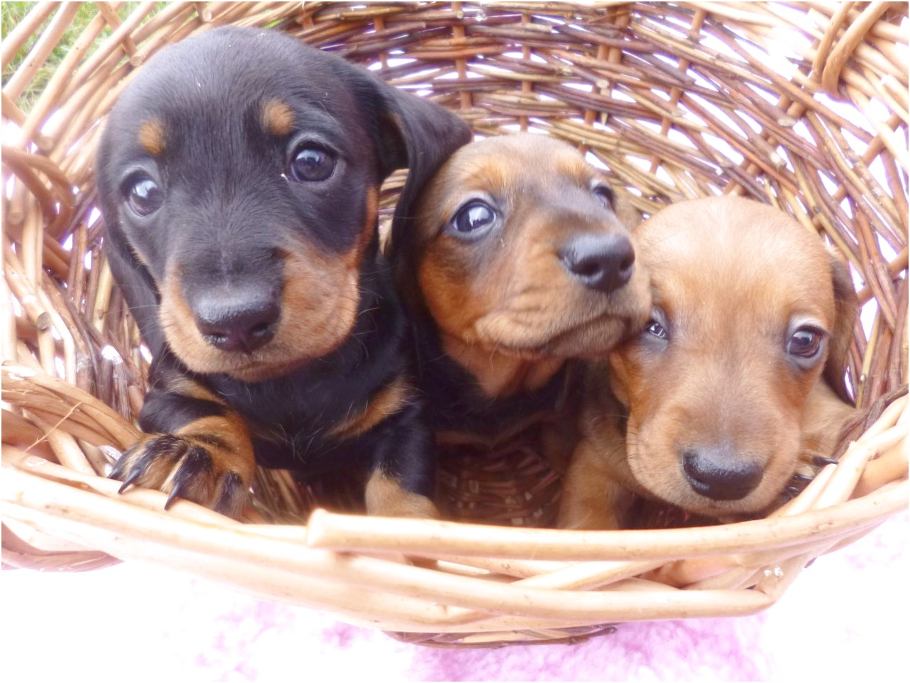 mini dachshund puppies for sale in central texas