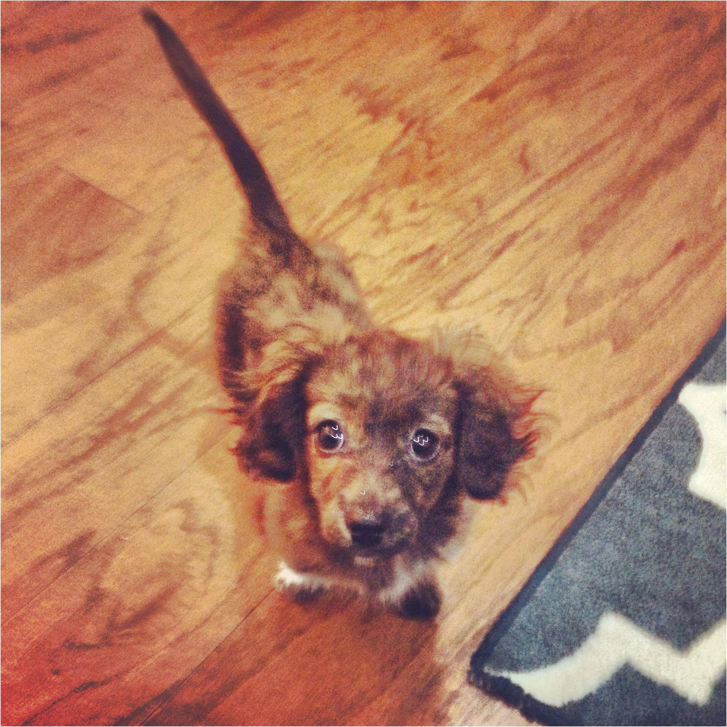 mini dachshund puppies for sale in lubbock texas