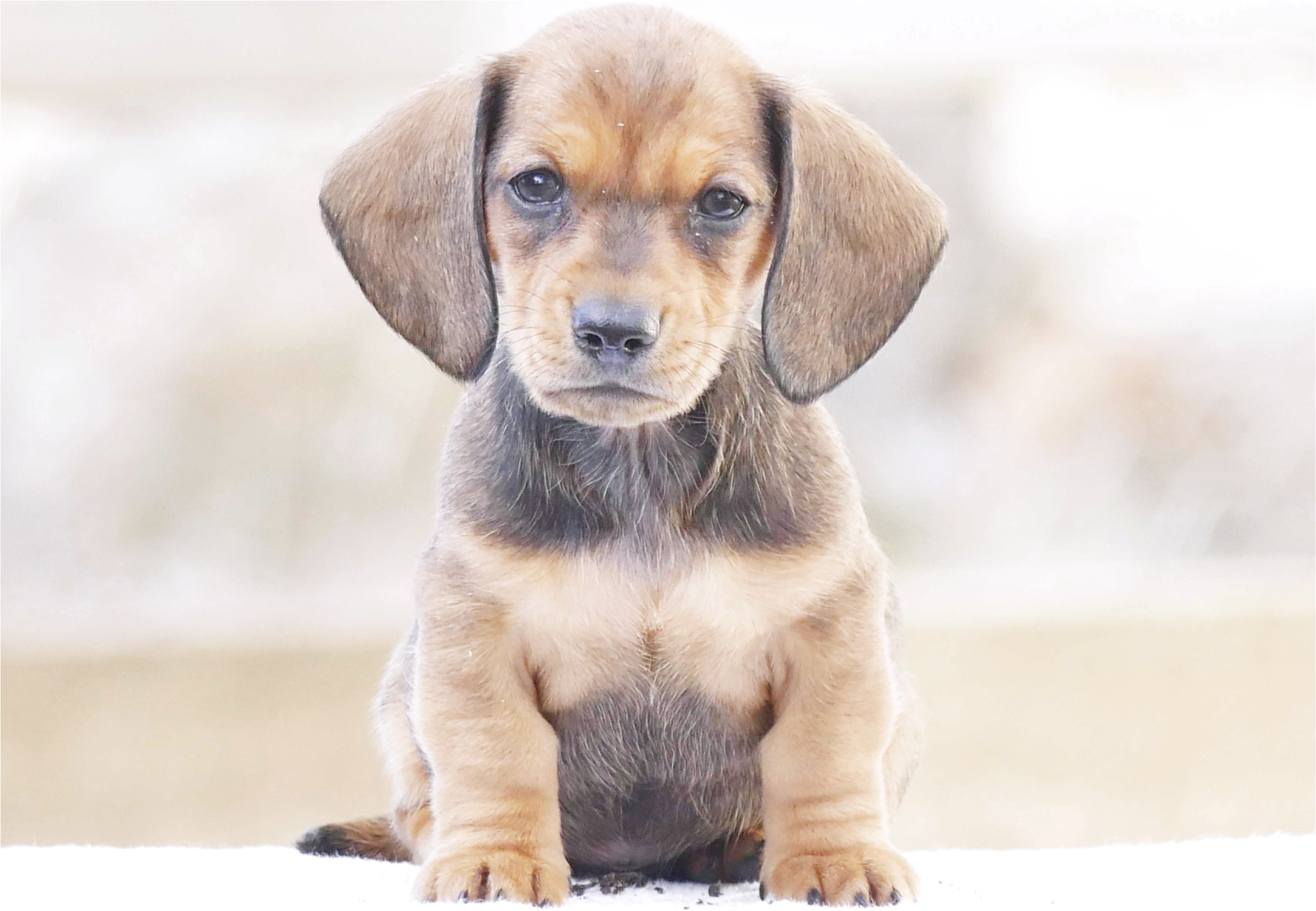 mini dachshund puppies for sale in pasadena tx