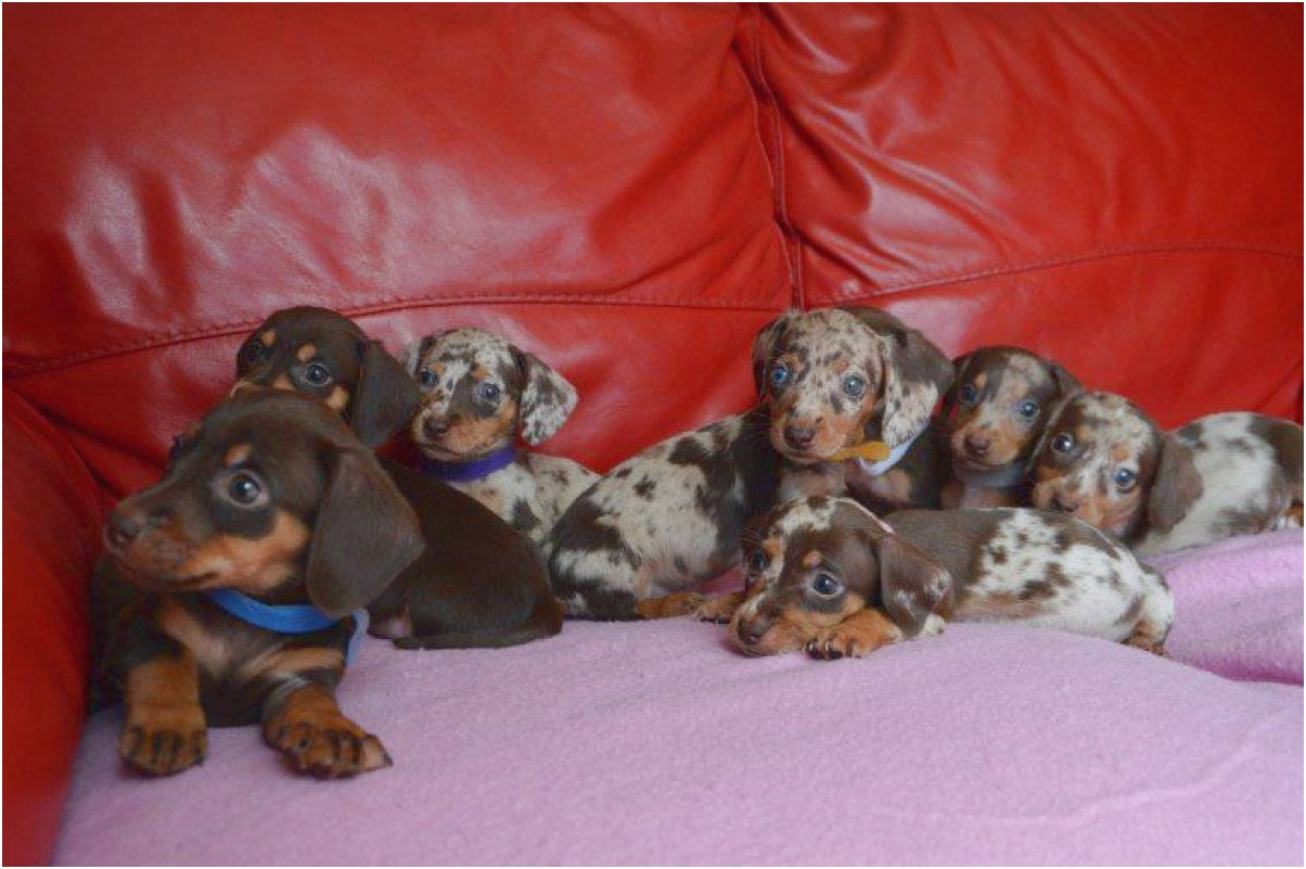 mini dachshund puppies for sale near winchester va