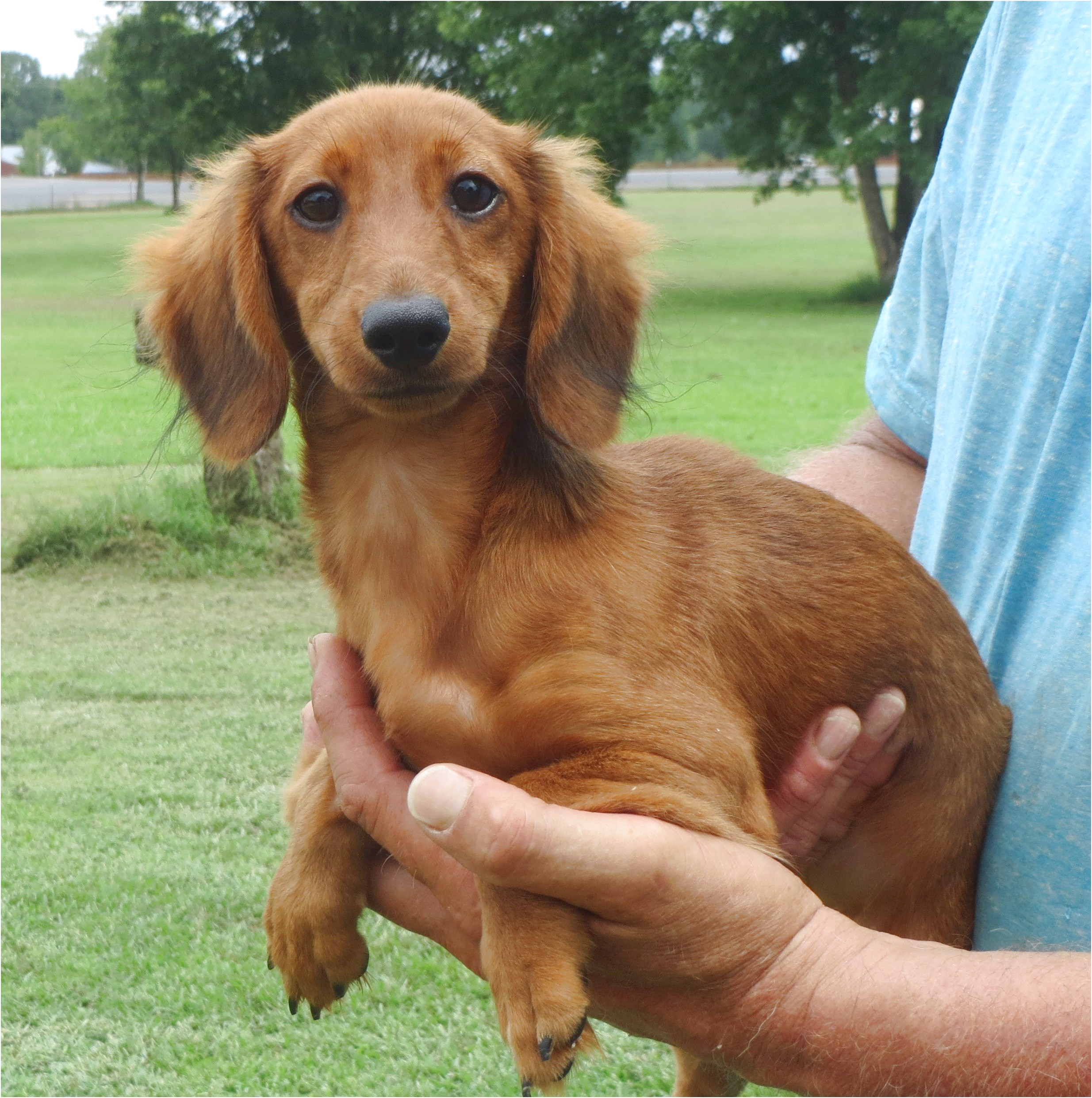 mini dachshunds for sale near salem nh