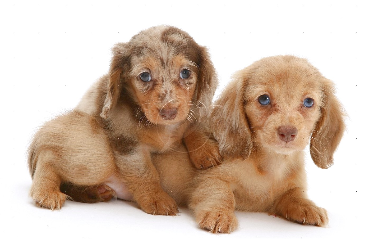 mini dapple dachshund puppies for sale in california