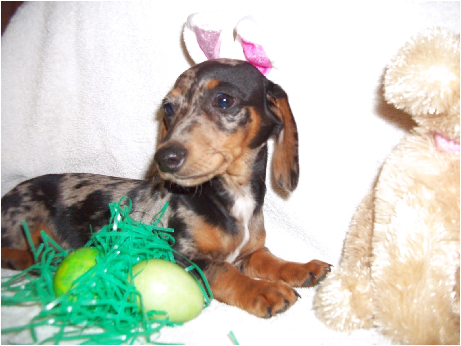 mini dapple dachshund puppies for sale in tn