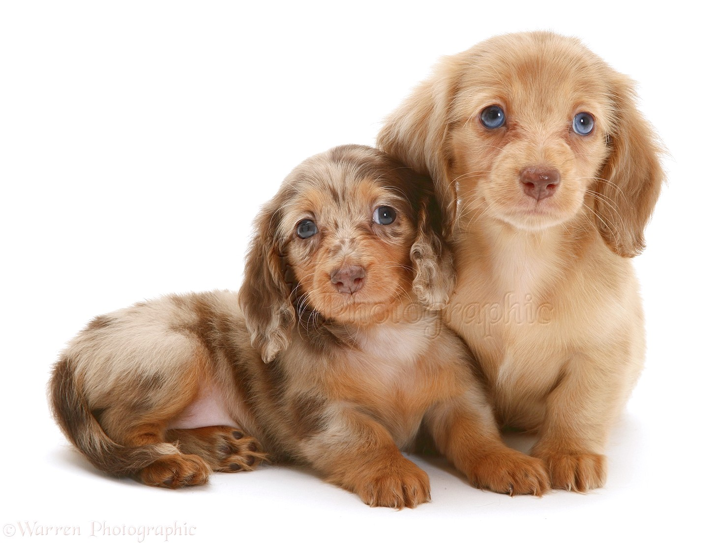 mini dapple dachshund puppies for sale in va