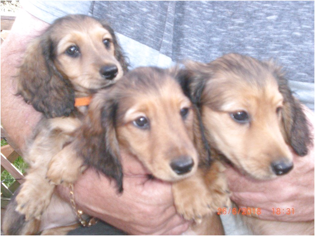 mini longhaired dachshund for sale near me
