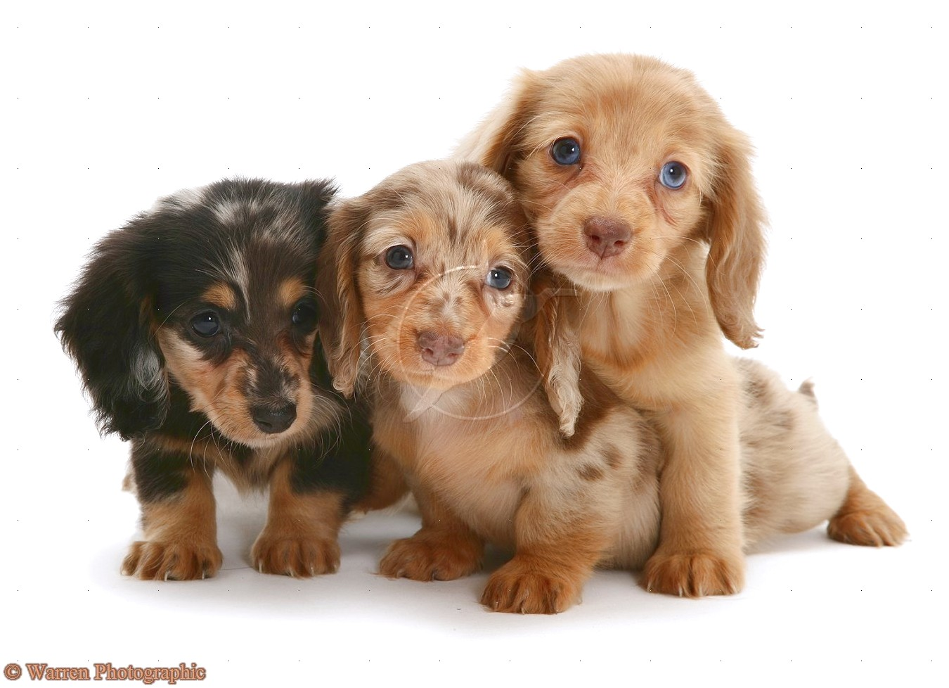 mini longhaired dachshund puppies for sale near me