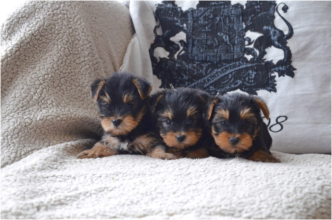 mini yorkshire terrier pups te koop