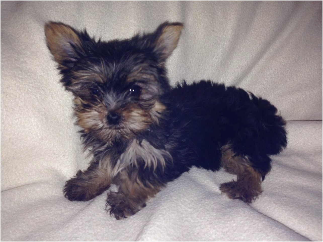 mini yorkshire terrier sale uk