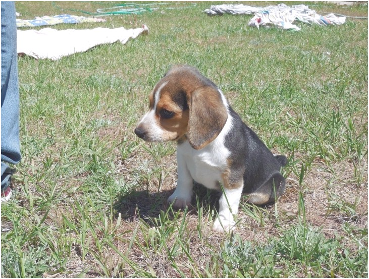 miniature beagles for sale in pa