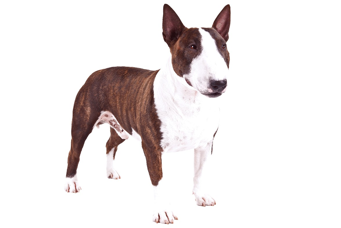 miniature bull terrier price range