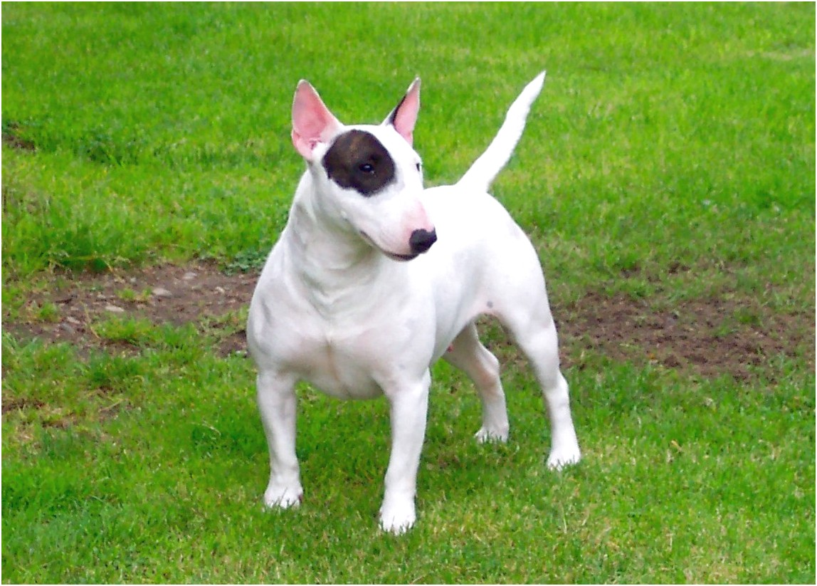 miniature bull terrier puppies for sale ny