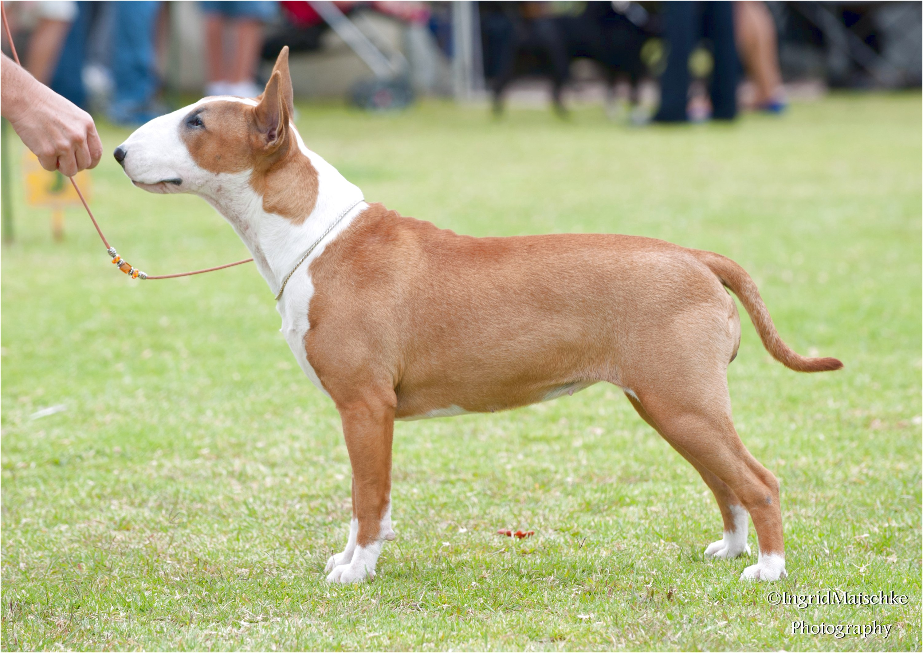 miniature bull terrier puppies for sale qld