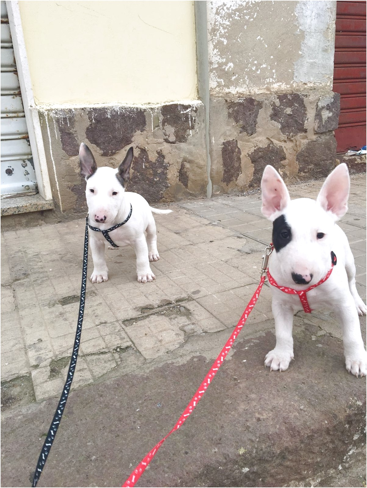 miniature bull terrier puppies for sale victoria