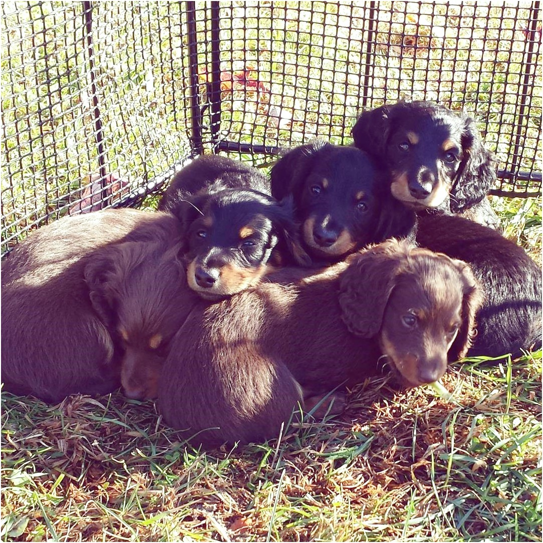 miniature dachshund puppies for adoption in pa