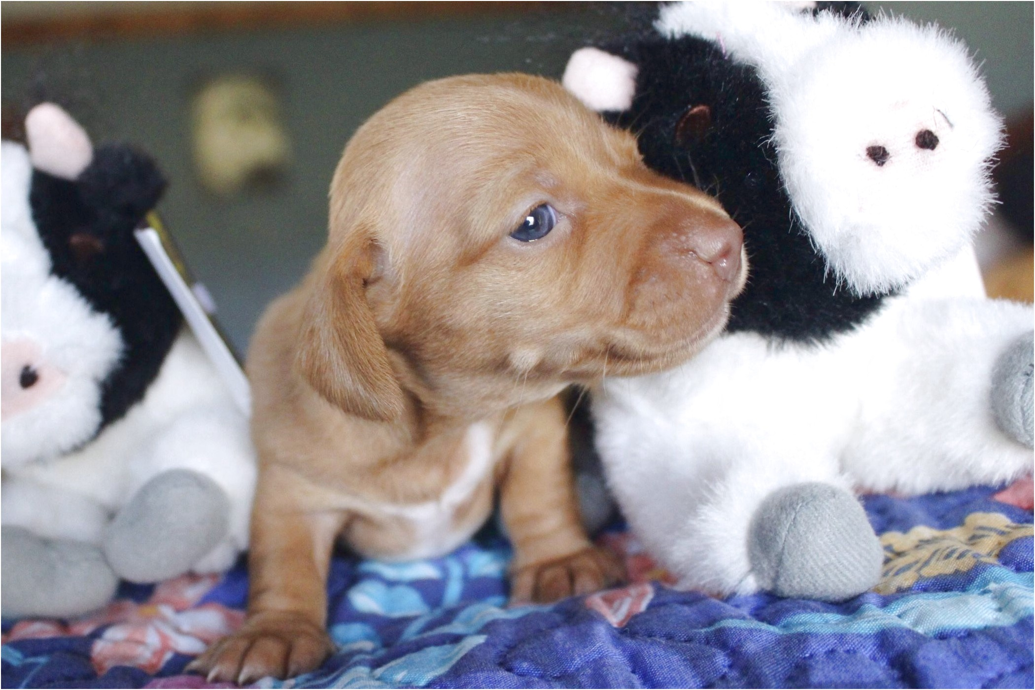 miniature dachshund puppies for sale bc