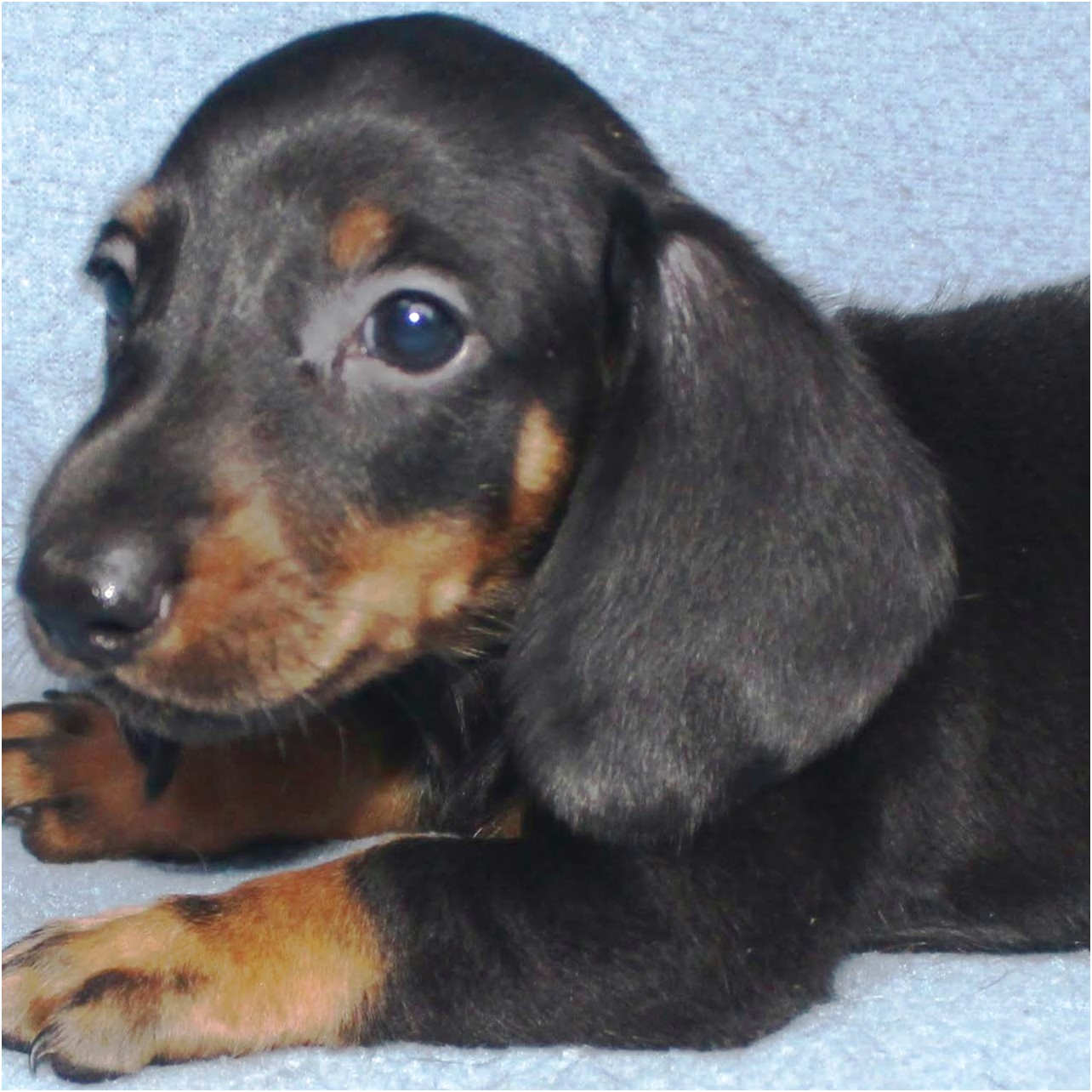 miniature dachshund puppies for sale dallas tx