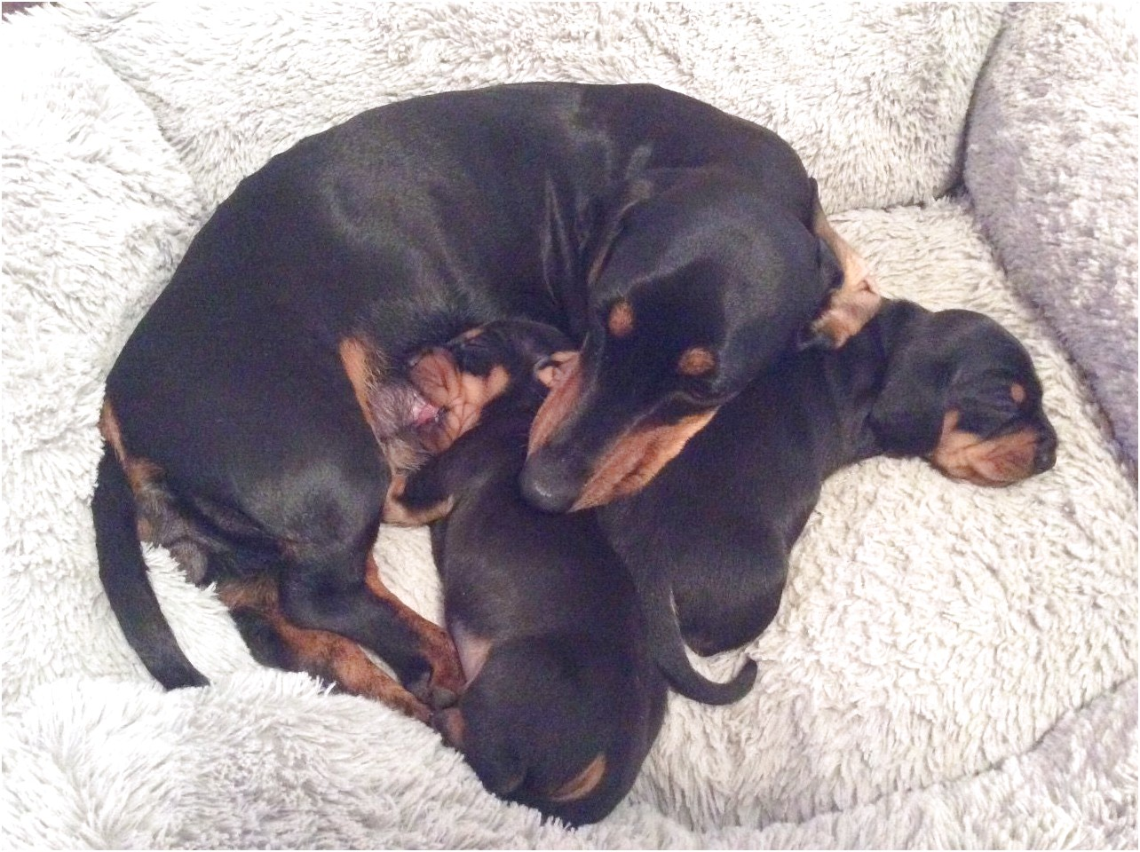 miniature dachshund puppies for sale derbyshire