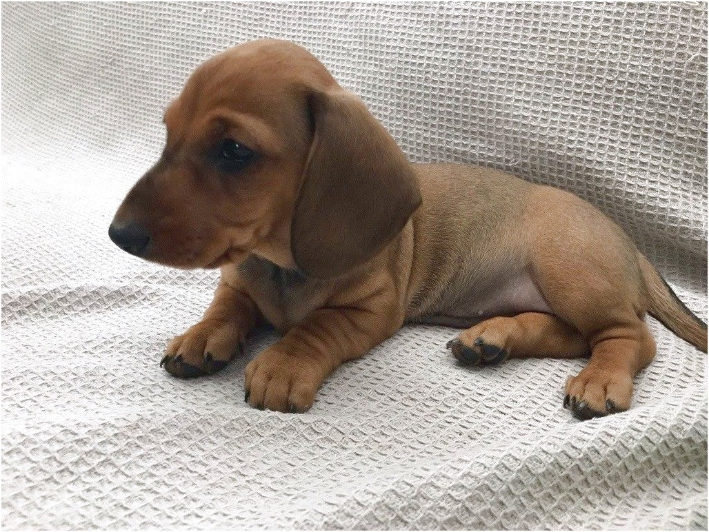 miniature dachshund puppies for sale east sussex