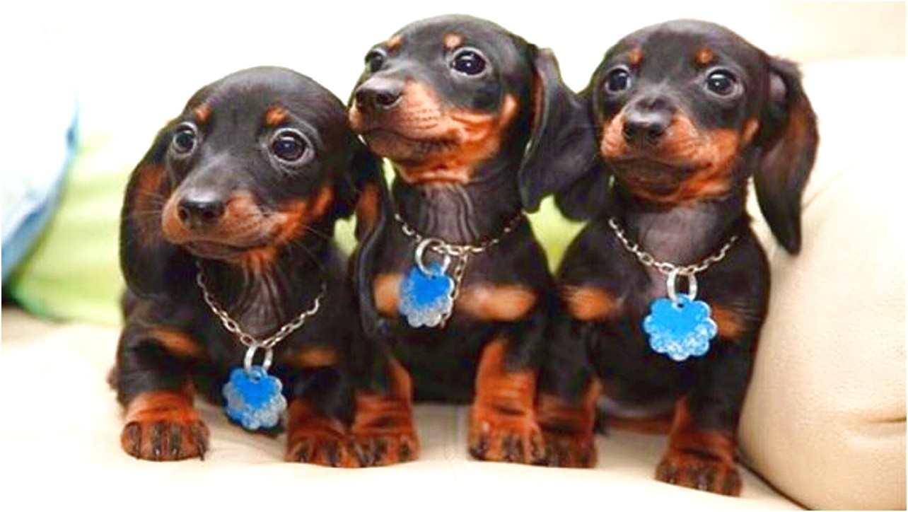 miniature dachshund puppies for sale facebook