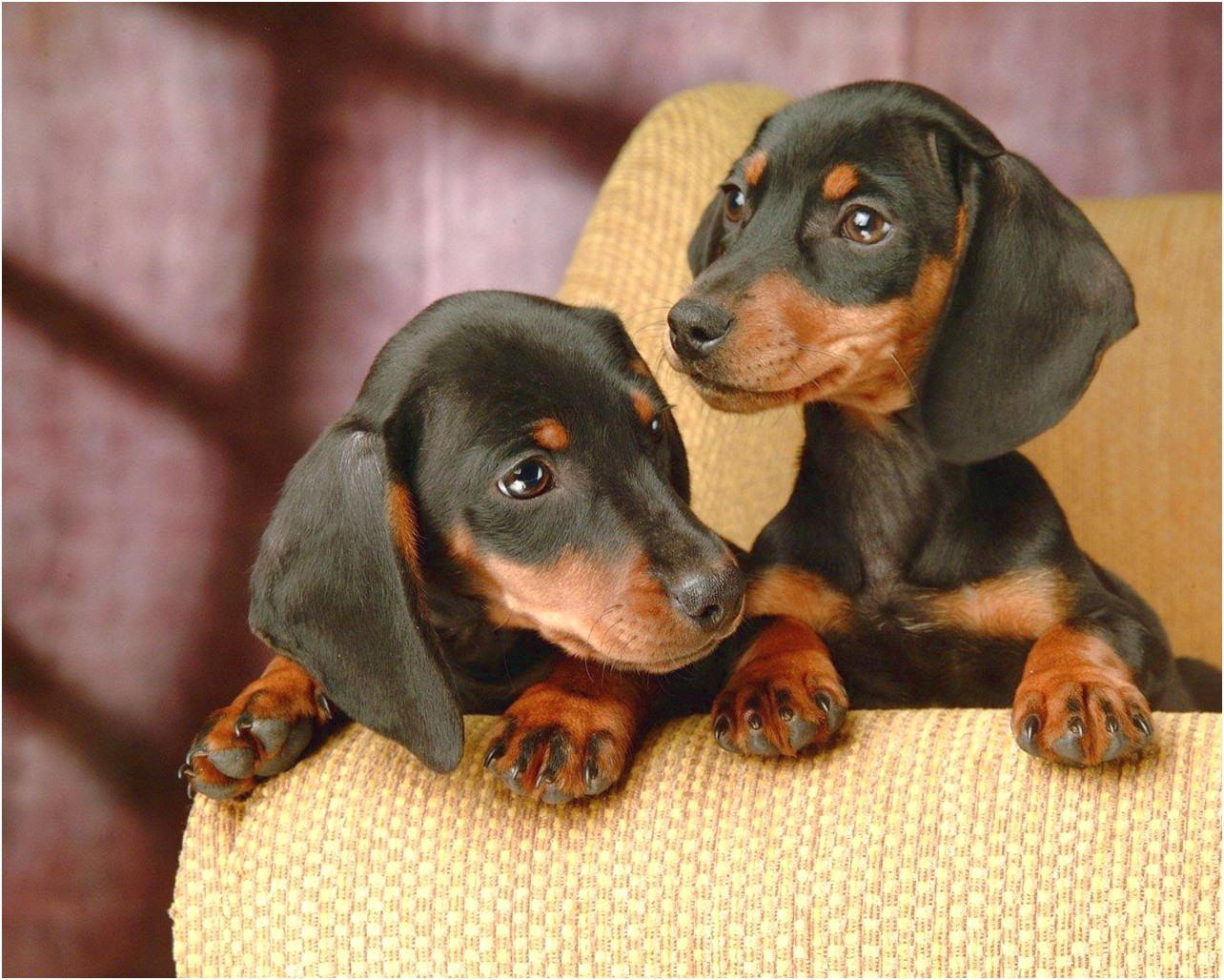 miniature dachshund puppies for sale germany