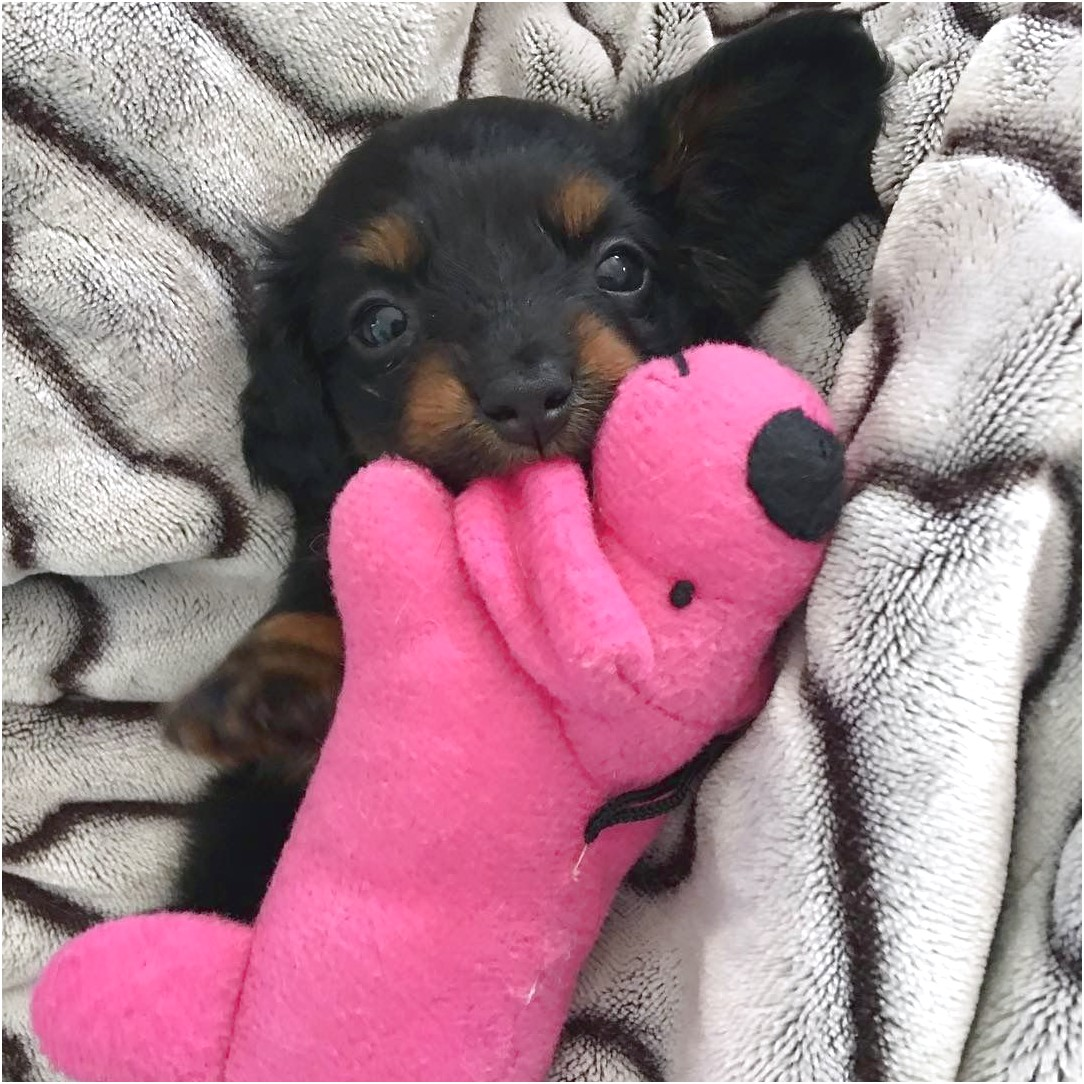 miniature dachshund puppies for sale greenville sc