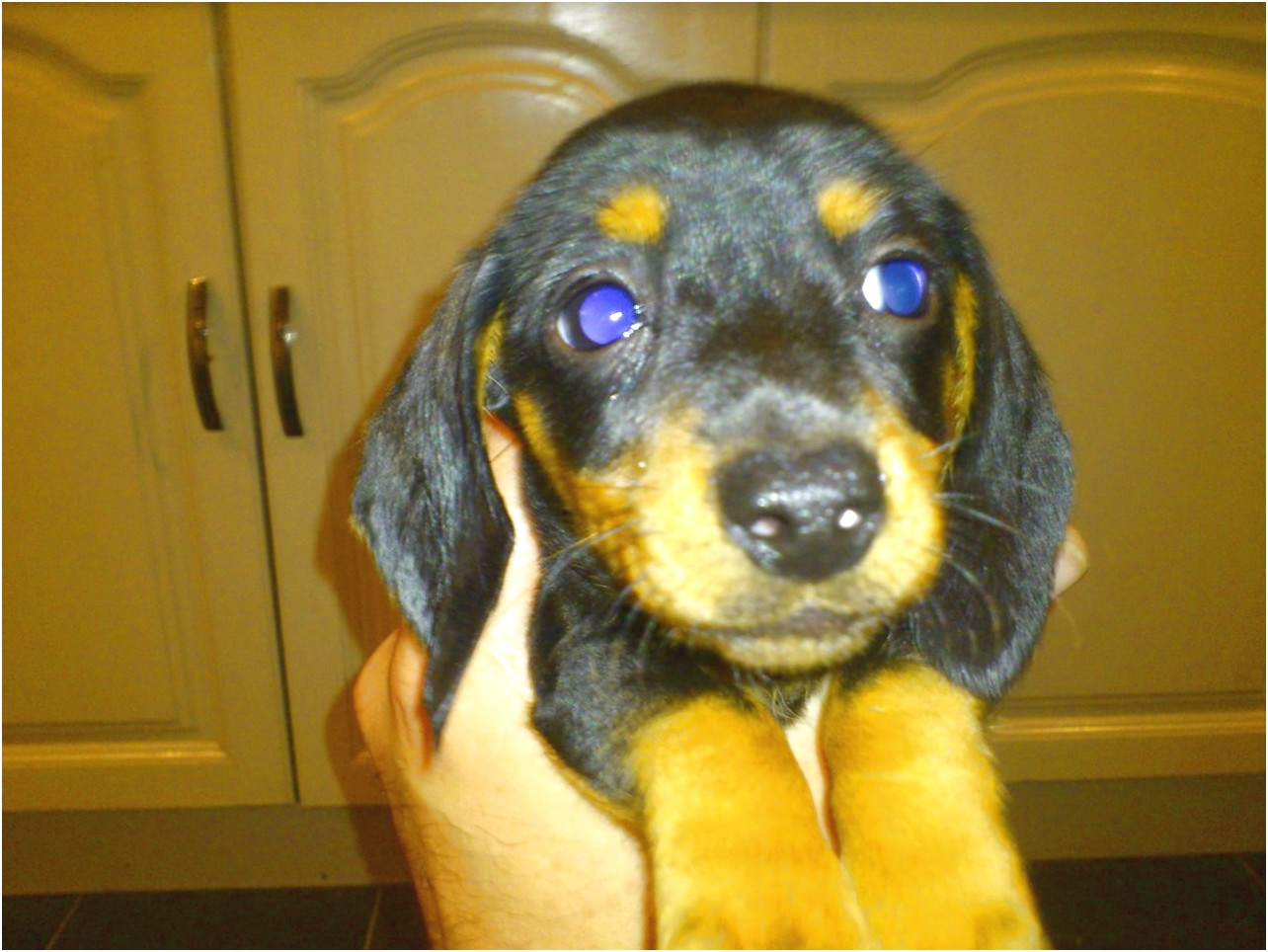 miniature dachshund puppies for sale grimsby