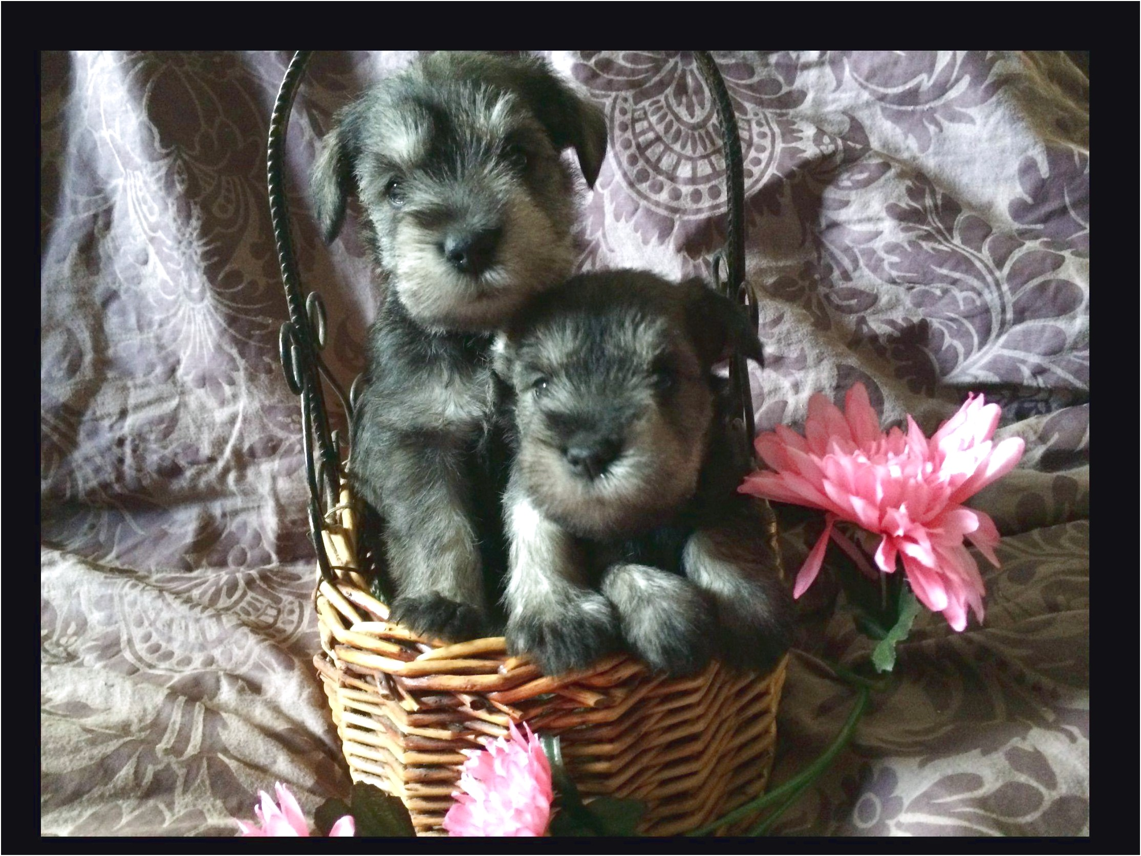 miniature dachshund puppies for sale hawaii