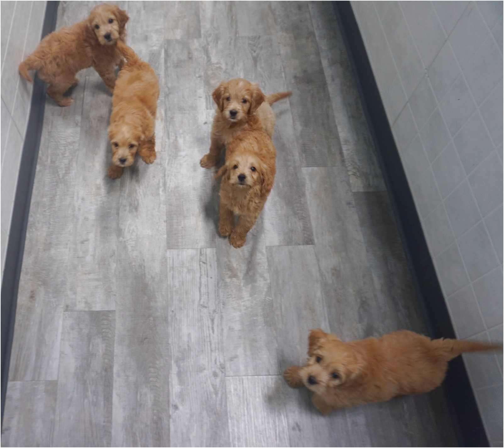 miniature dachshund puppies for sale in bc