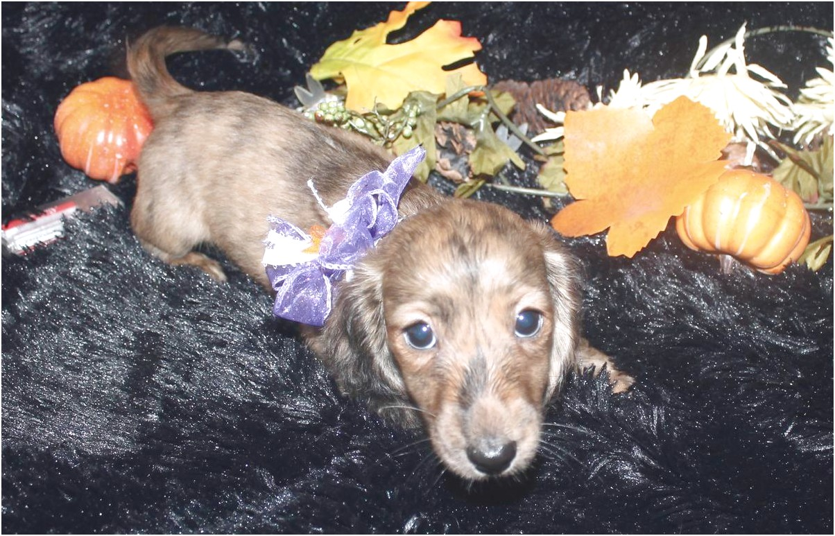miniature dachshund puppies for sale in florida