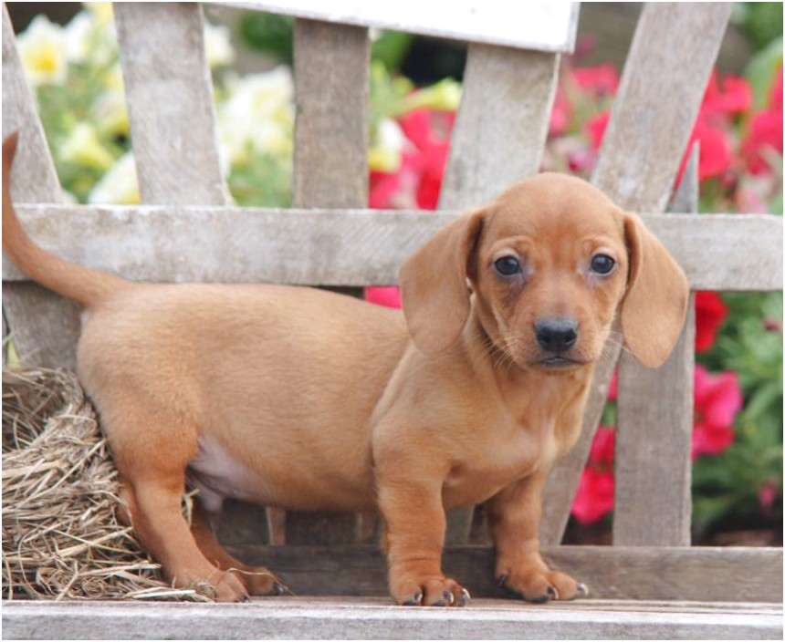 Miniature Dachshund Puppies For Sale In Pa