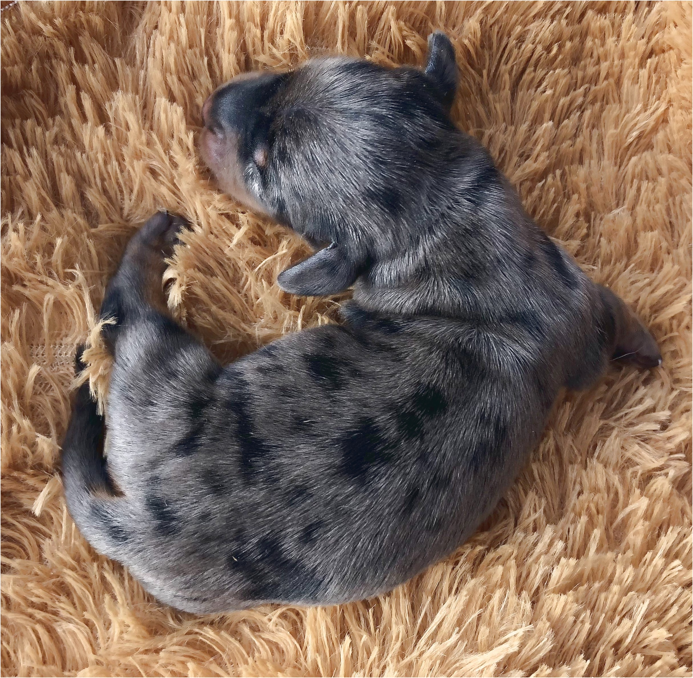 miniature dachshund puppies for sale in south texas