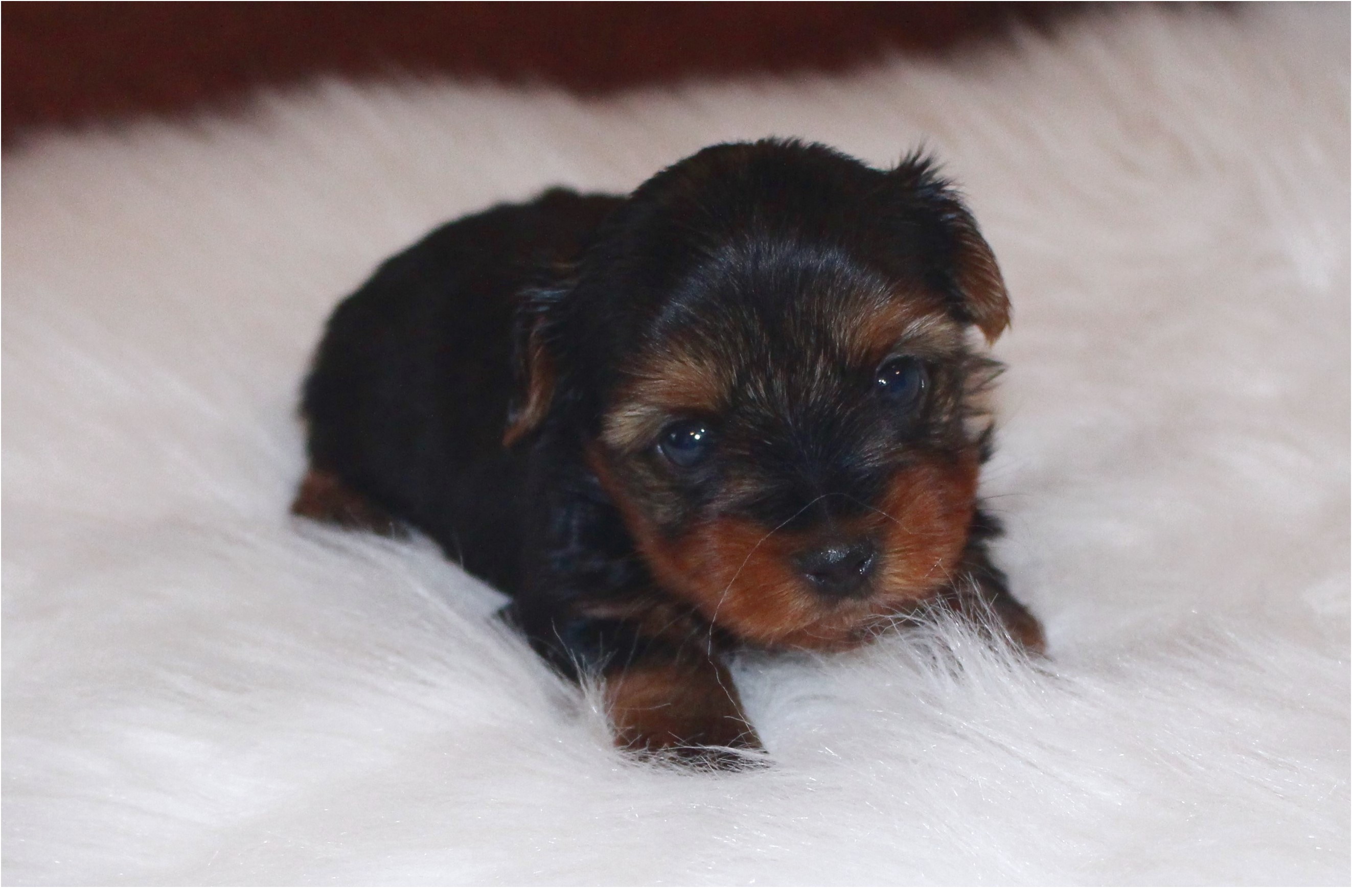 miniature dachshund puppies for sale in southeast texas