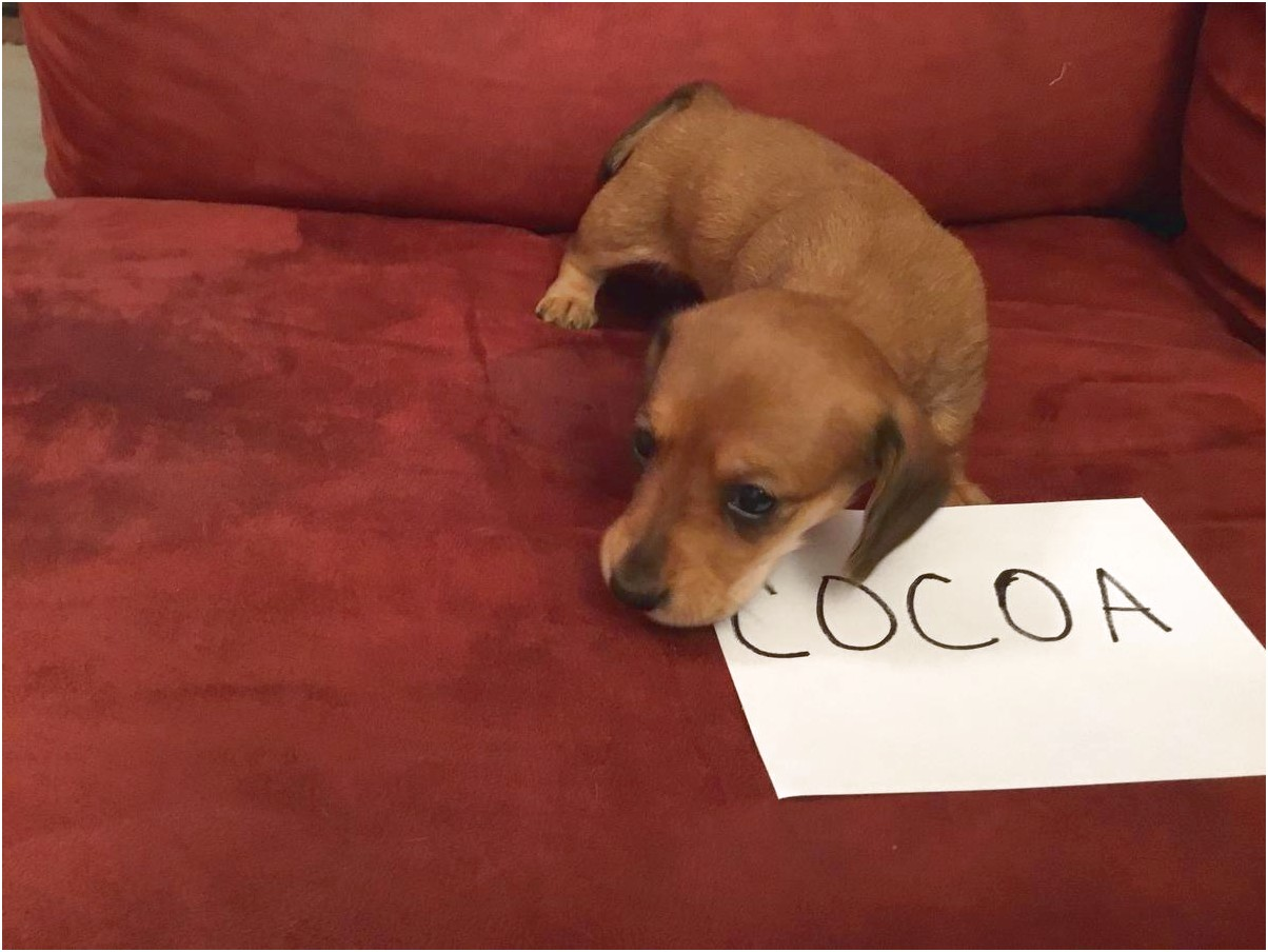 miniature dachshund puppies for sale in toledo ohio