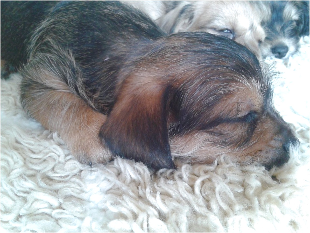 miniature dachshund puppies for sale joplin mo