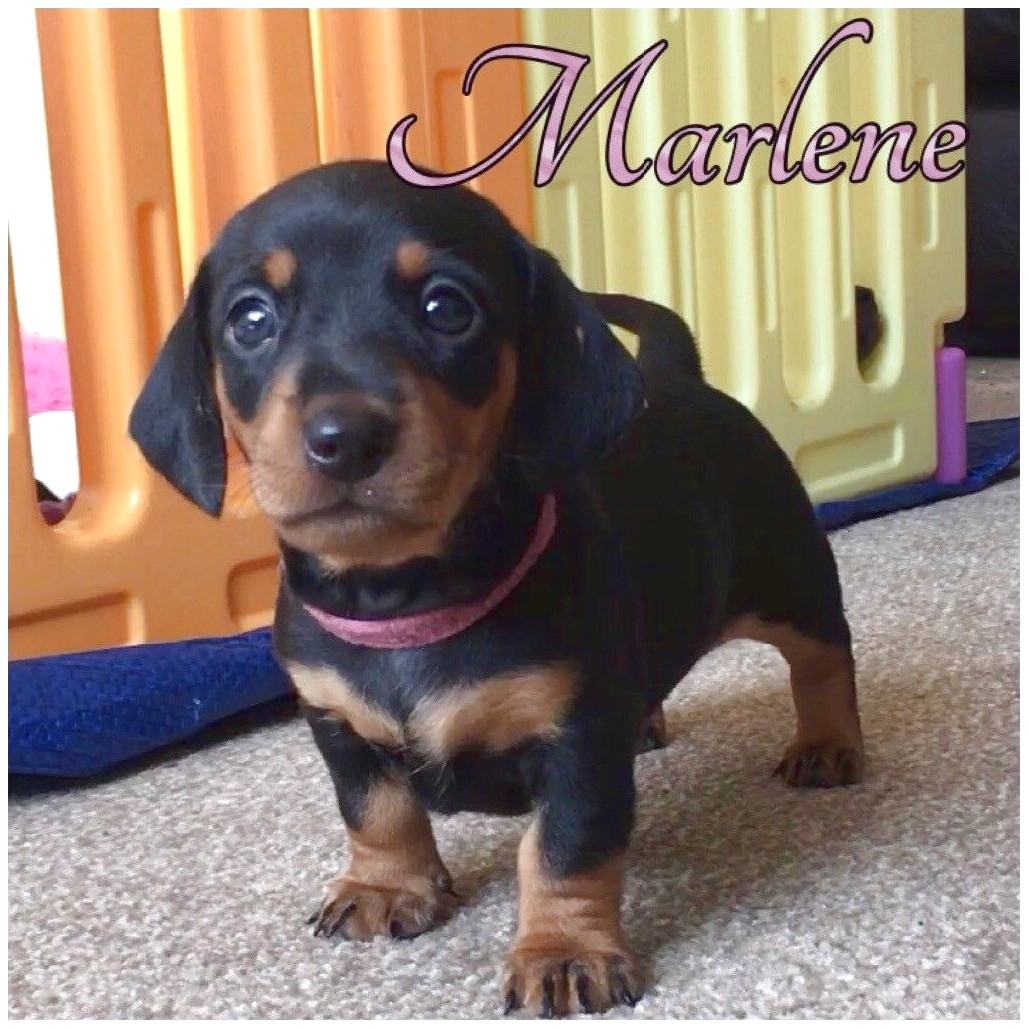 miniature dachshund puppies for sale kent
