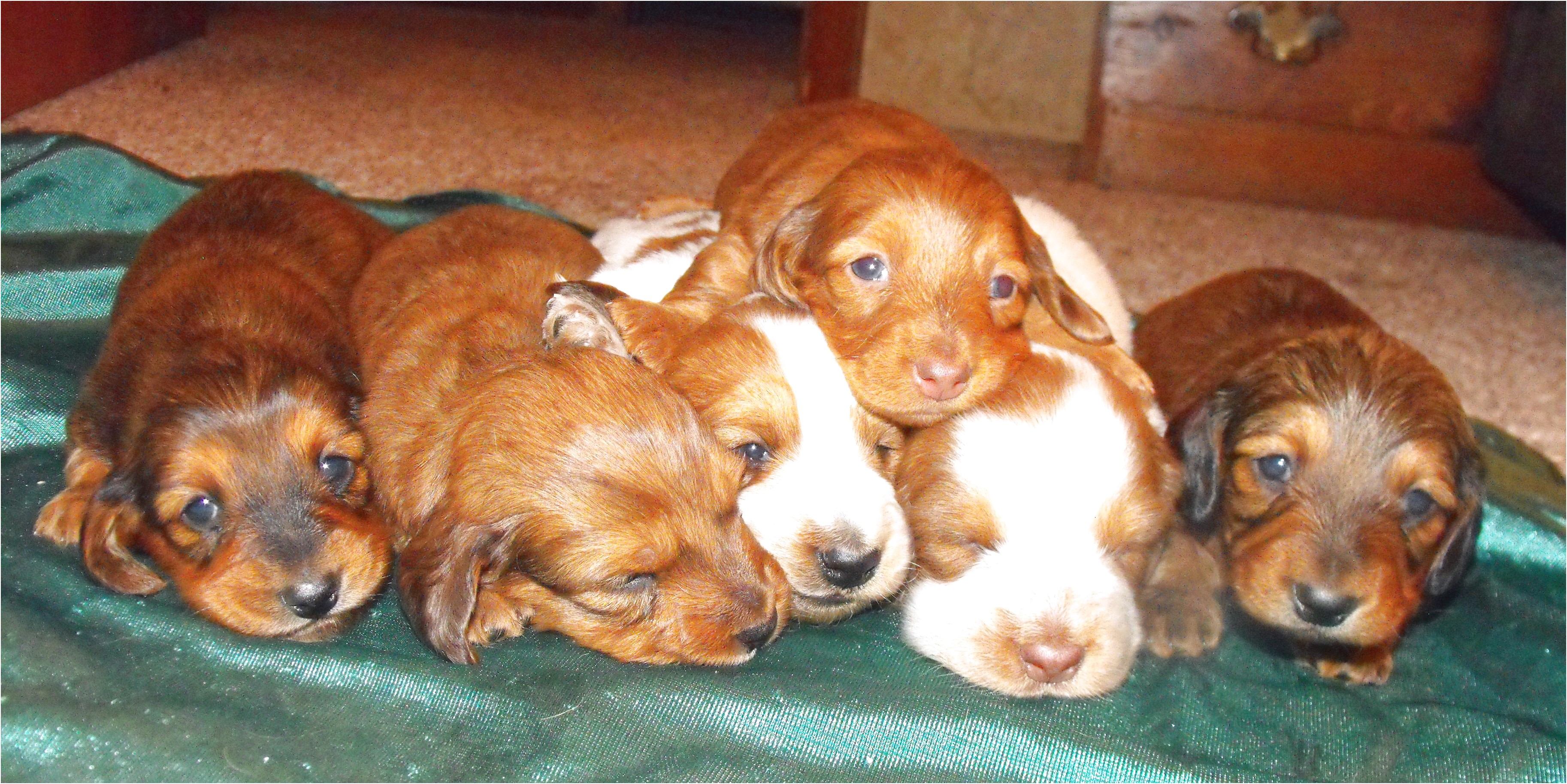 miniature dachshund puppies for sale ky