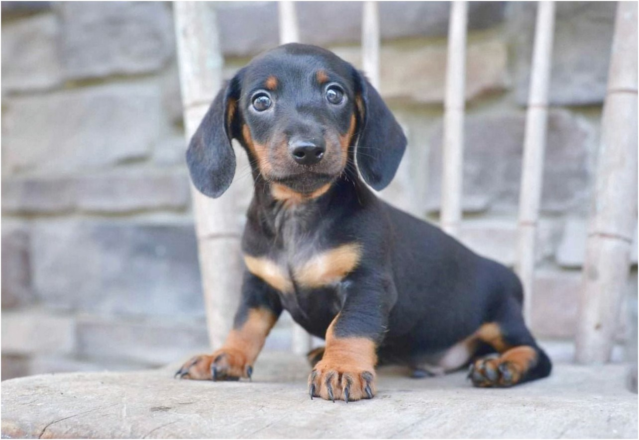 miniature dachshund puppies for sale lancashire