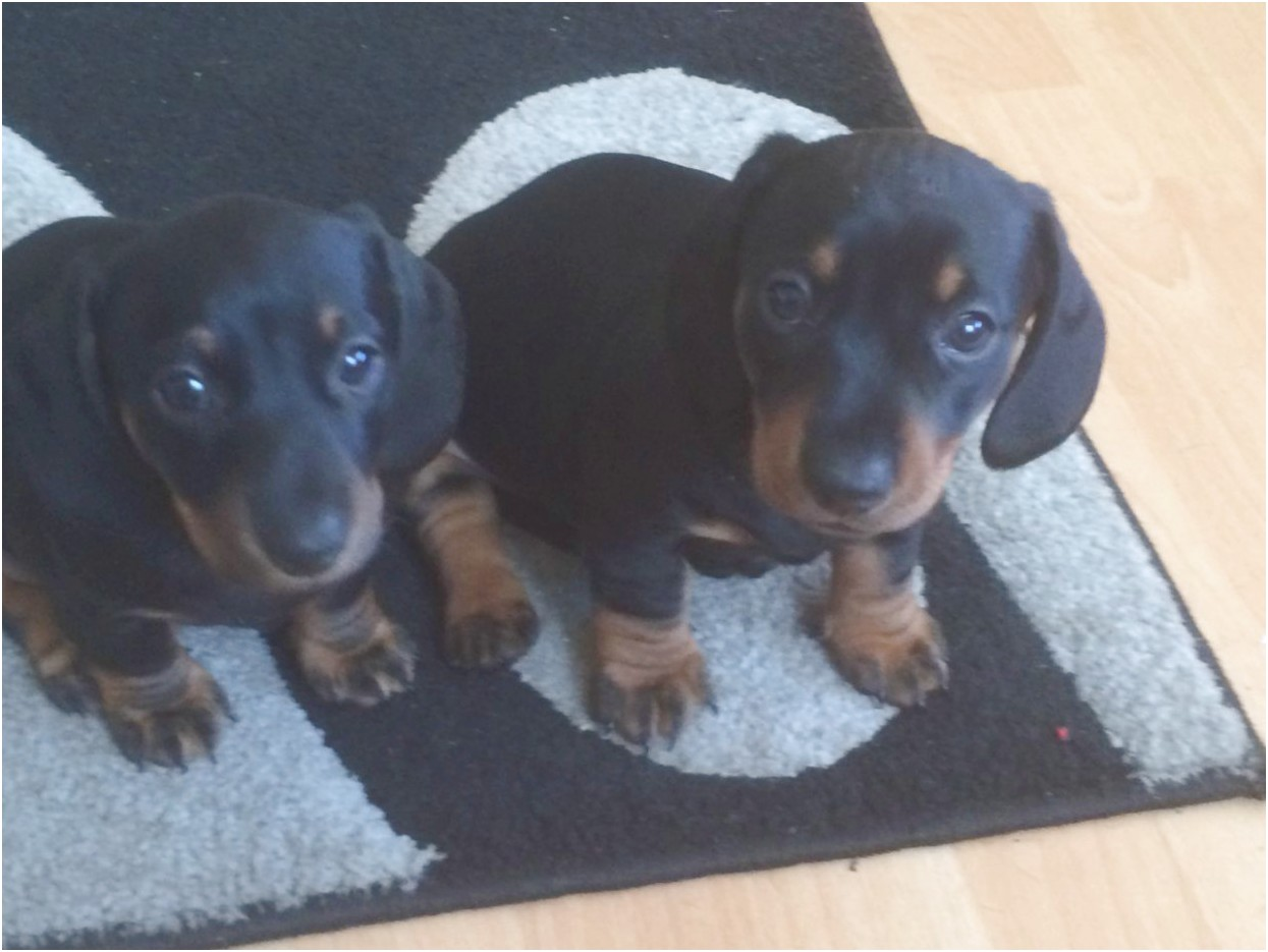 miniature dachshund puppies for sale london