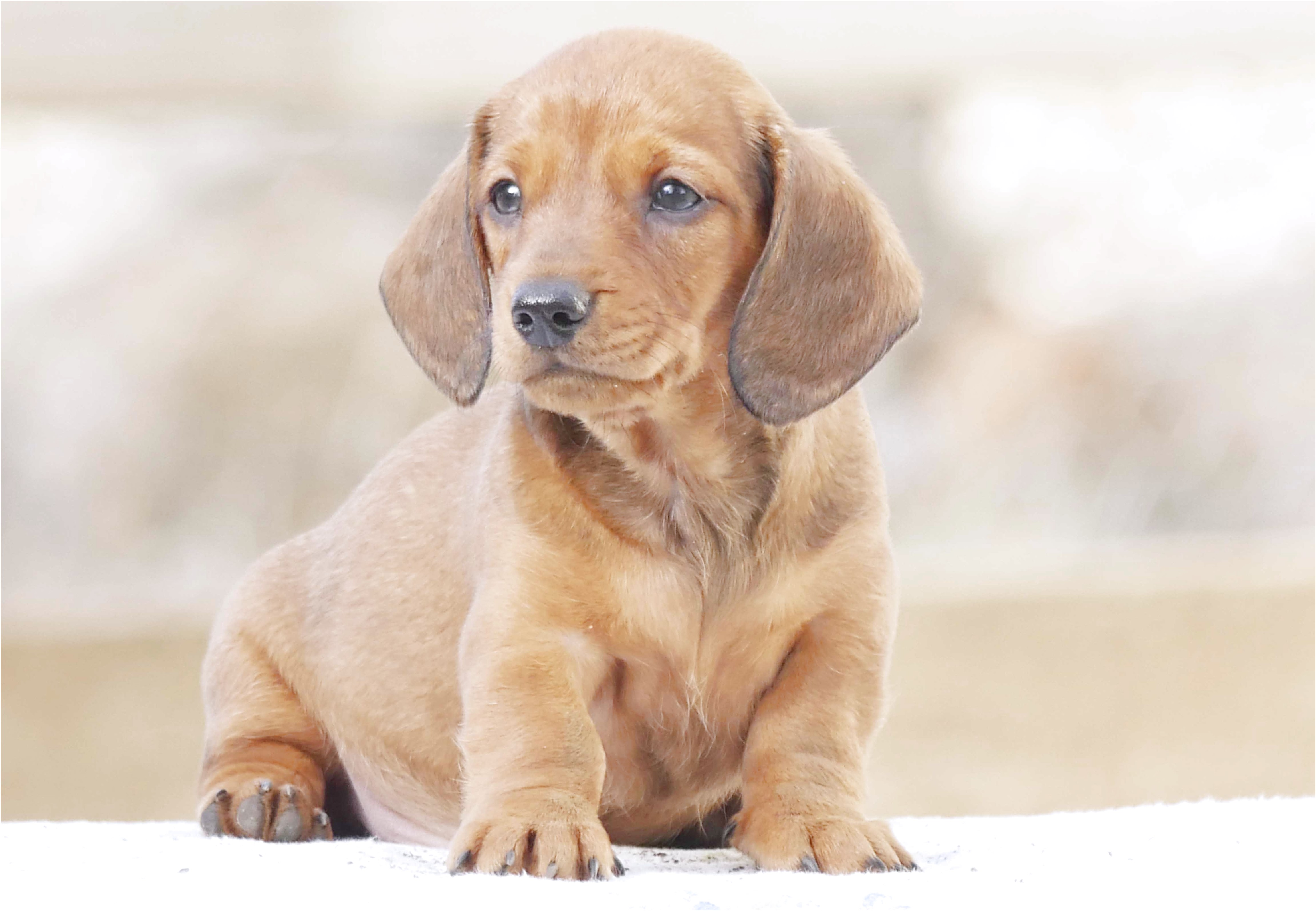 miniature dachshund puppies for sale melbourne