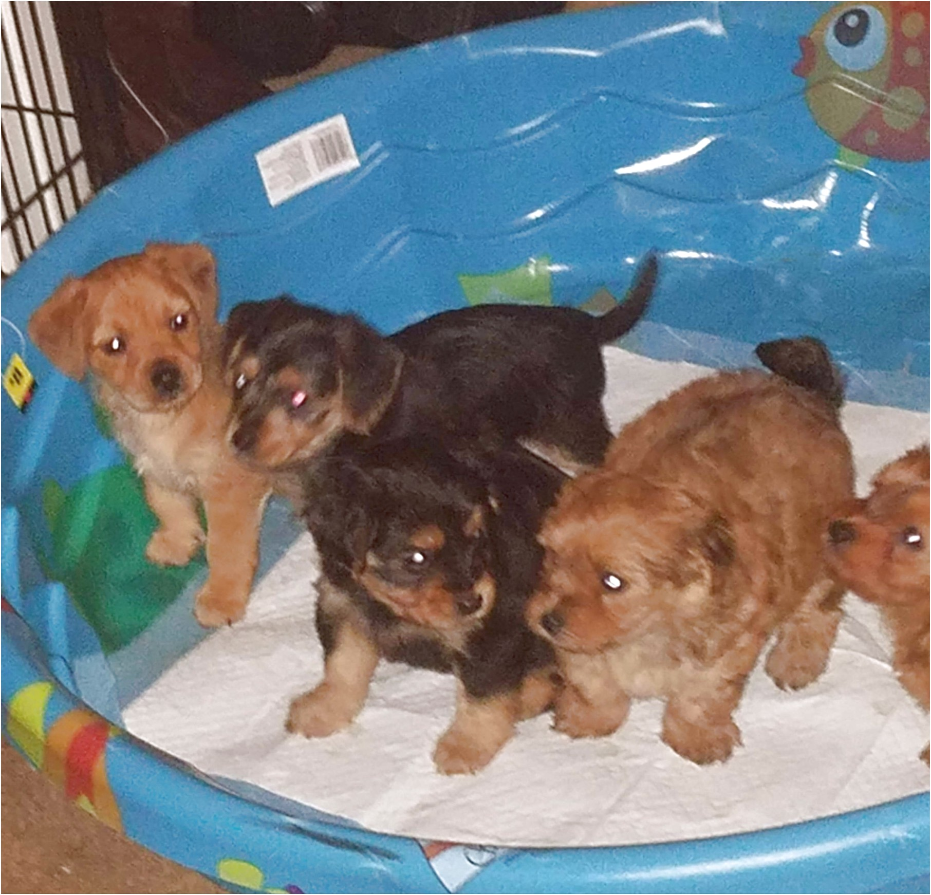 miniature dachshund puppies for sale mississippi