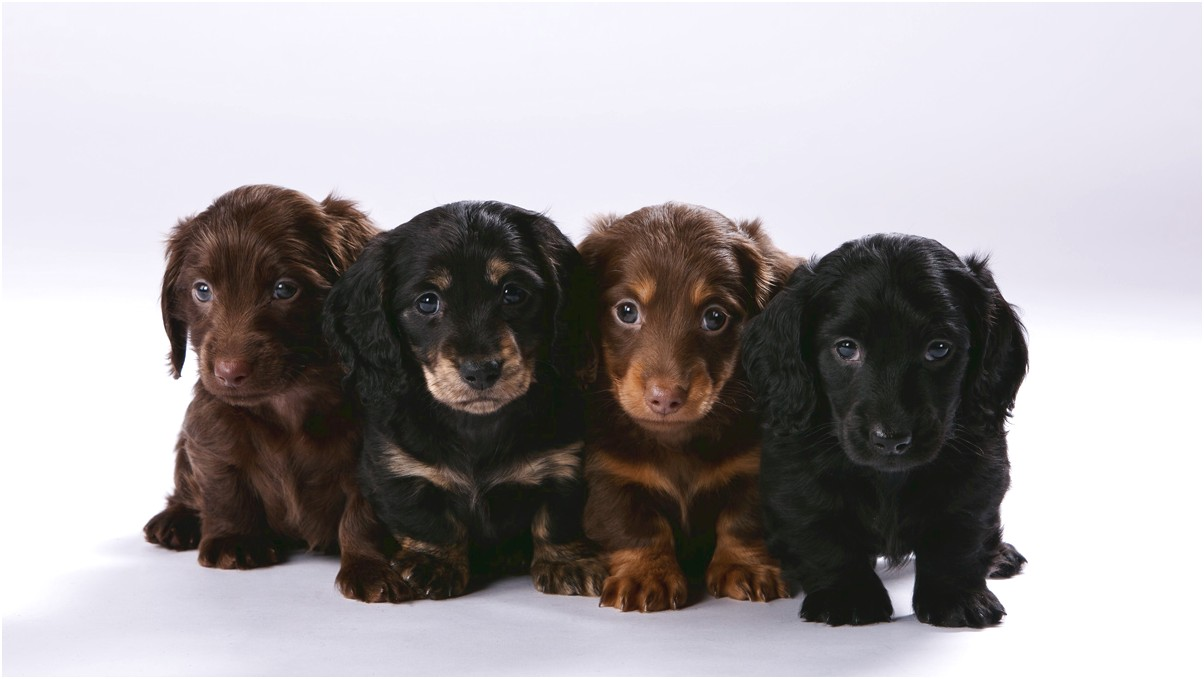 miniature dachshund puppies for sale mn