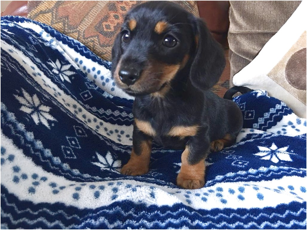 miniature dachshund puppies for sale oahu