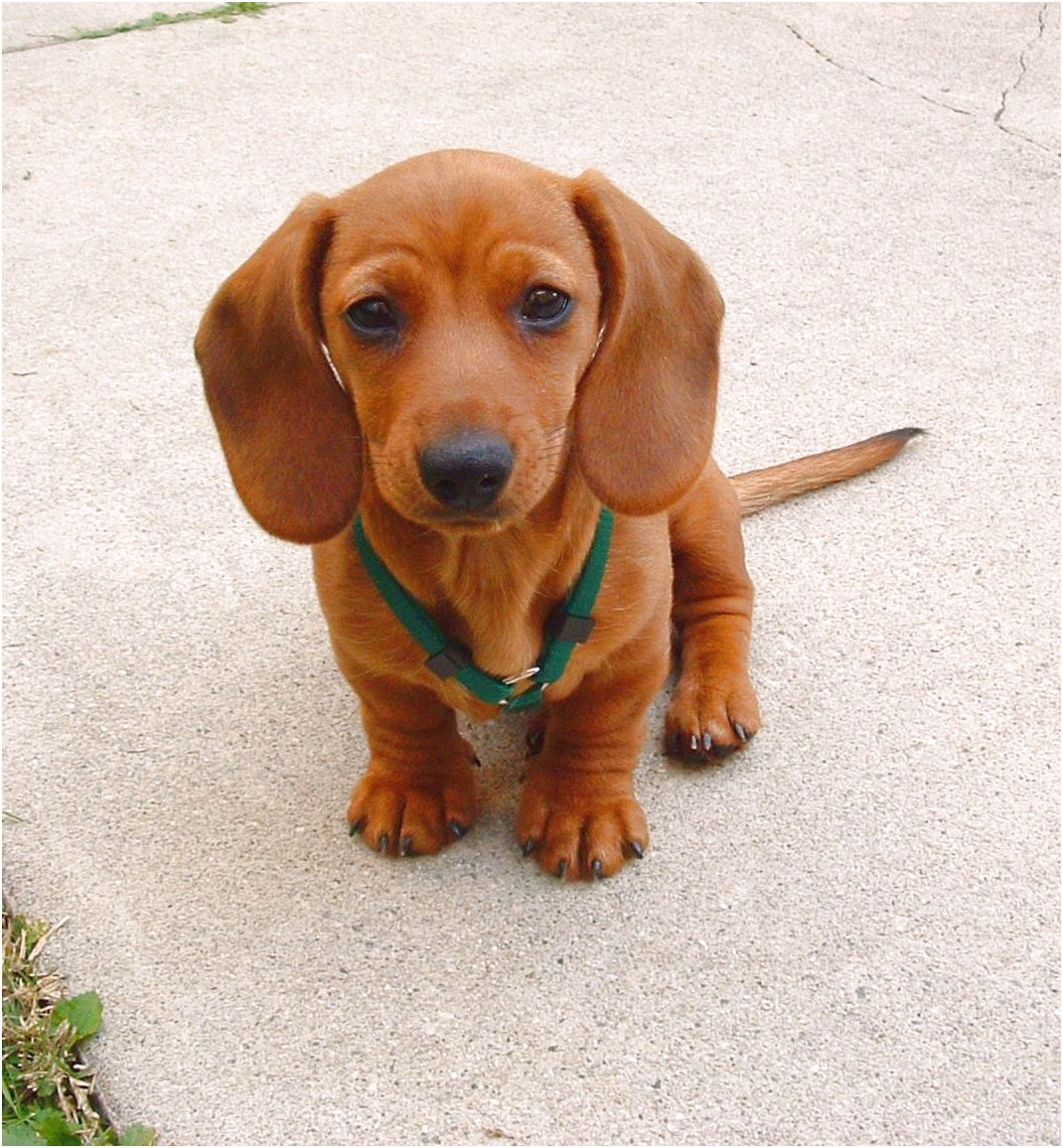 miniature dachshund puppies for sale oregon